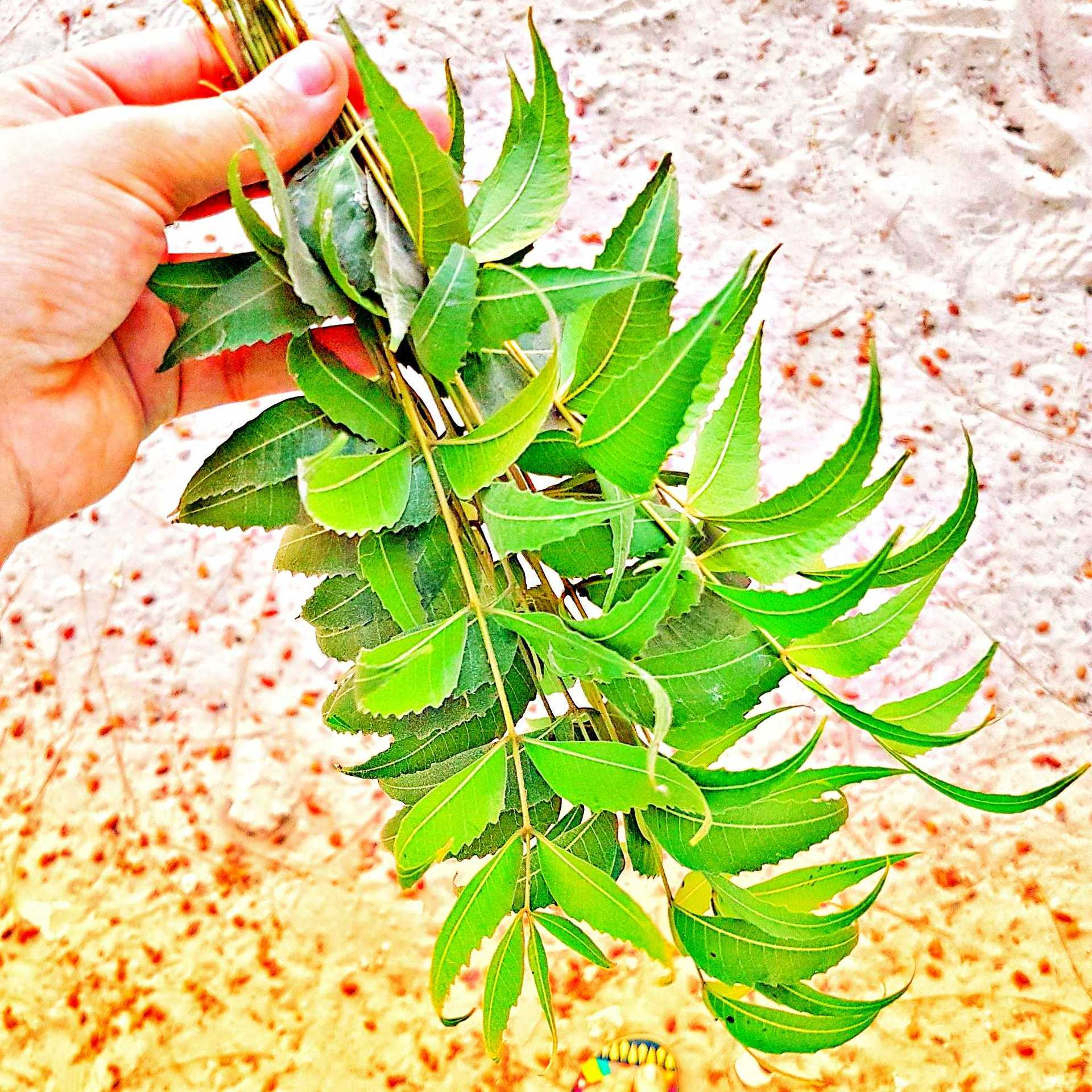 Neem for skin and hair